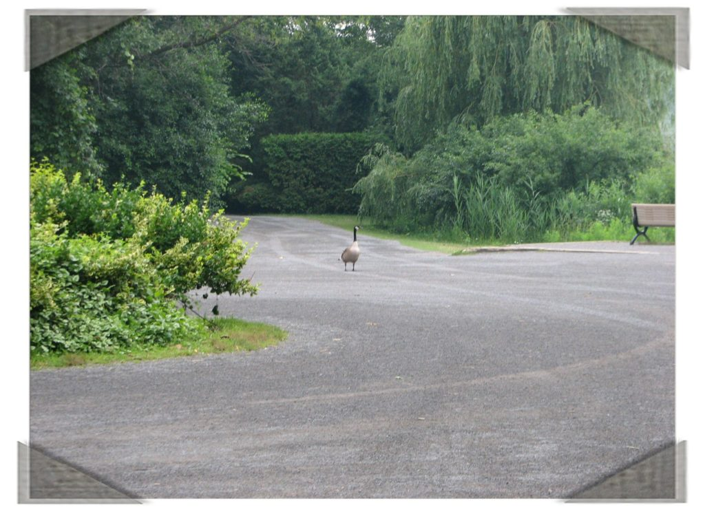 Goose walking on the path